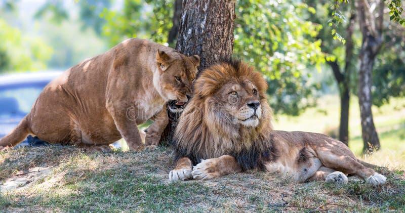 De leeuw en de leeuwin liggen op het gras royalty-vrije stock foto