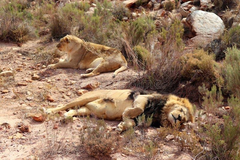 De leeuw is het grootste aardse roofdier van Afrika stock foto