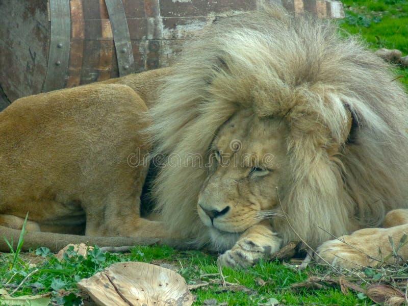 De leeuw de koning van dieren rust royalty-vrije stock fotografie