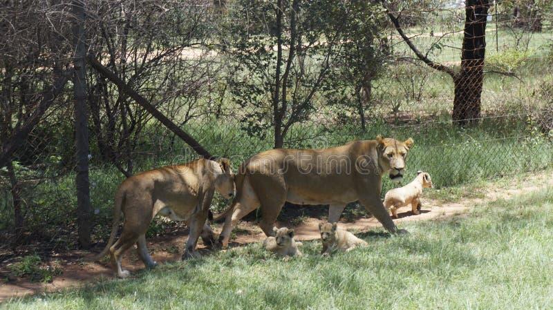 De leeuw` s familie met welpen loopt, Zuid-Afrika stock fotografie