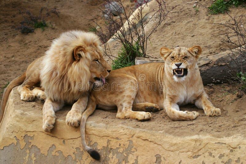 De leeuw van Angola, leeuw en leeuwin royalty-vrije stock afbeeldingen