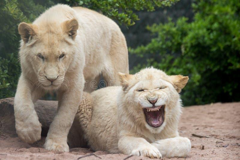De leeuw van de geeuw stock fotografie