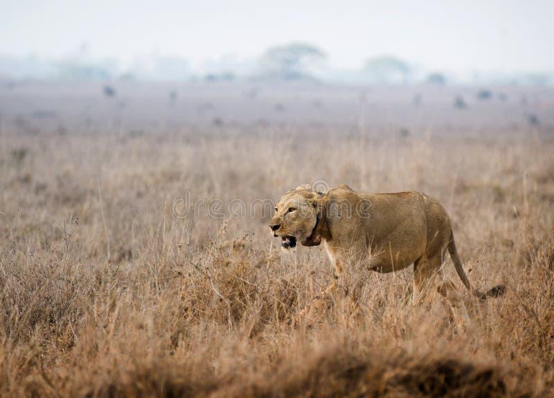 De leeuwin gaat jagend stock afbeeldingen
