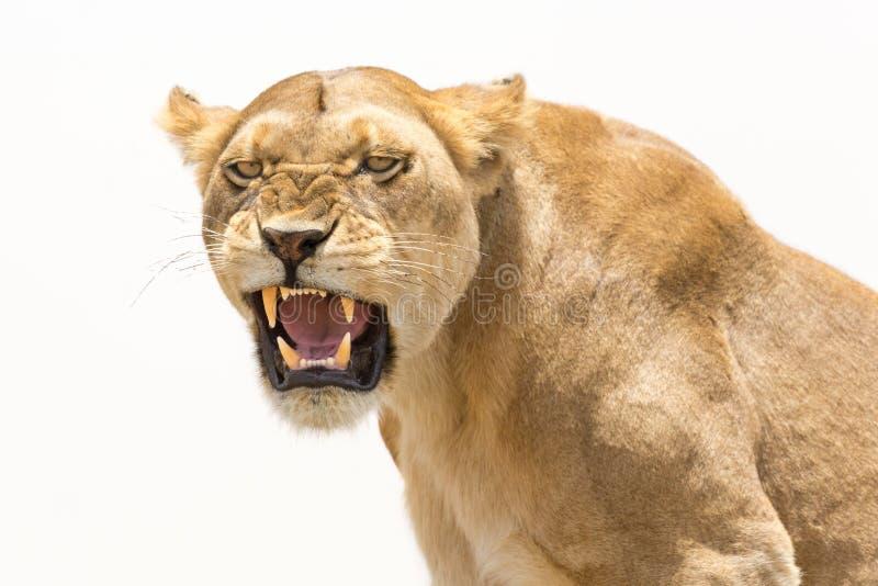 De leeuwin toont gevaarlijke tanden royalty-vrije stock foto