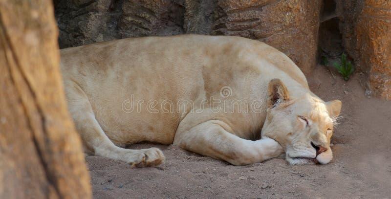 De leeuwin is vermoeid en slaapt op het zand stock foto's