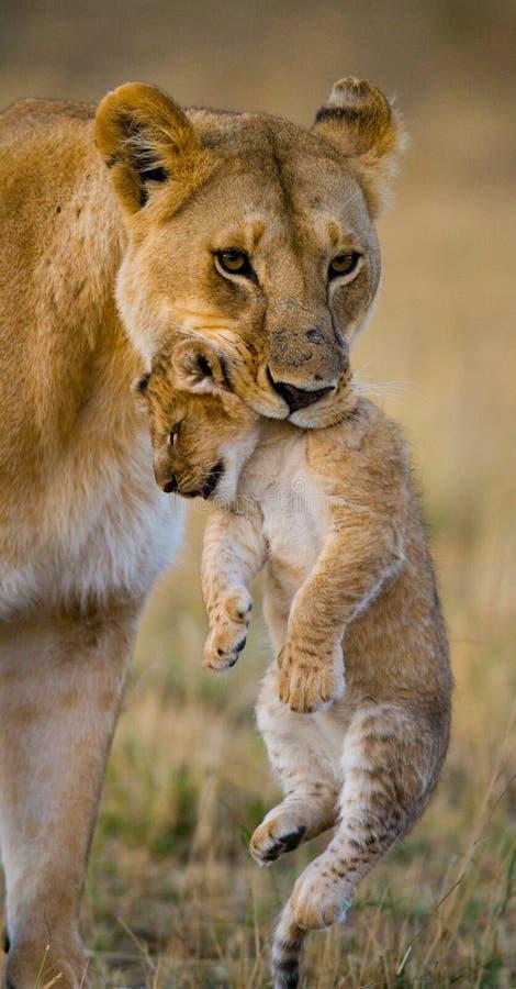 De leeuwin vervoert haar baby Nationaal Park kenia tanzania Masai Mara serengeti royalty-vrije stock foto's