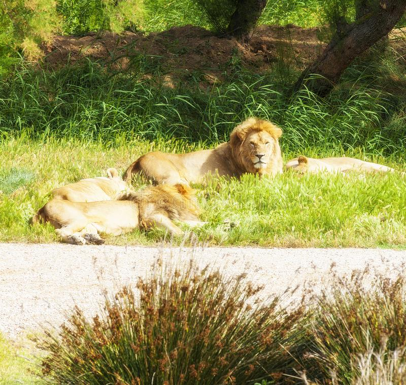 De leeuwtrots rust in een weide in Safaripark, Frankrijk royalty-vrije stock foto