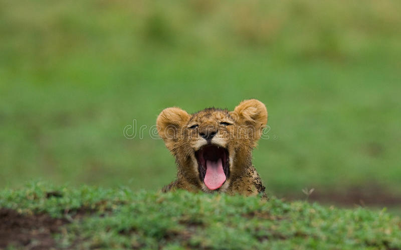 De leeuwwelp geeuwt Nationaal Park kenia tanzania Masai Mara serengeti stock afbeeldingen
