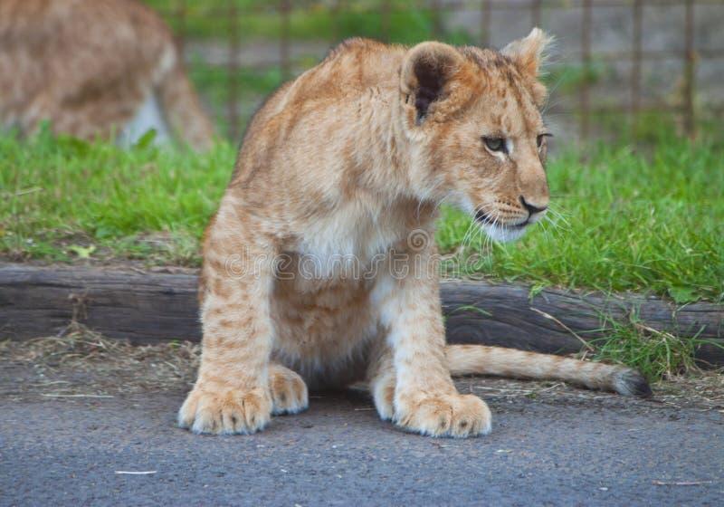 De leeuwwelp van de baby die op weg wordt gezeten stock afbeeldingen
