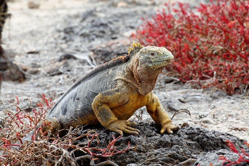 De leguaan de Galapagos van het land stock afbeeldingen