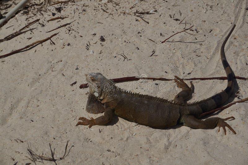 De Leguaan van Aruba royalty-vrije stock fotografie