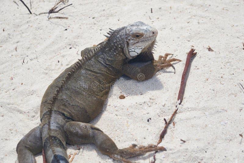 De Leguaan van Aruba royalty-vrije stock afbeeldingen