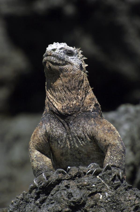 De Leguaan van de Galapagos stock foto