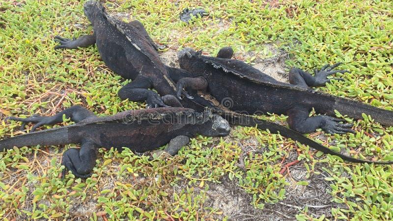 De leguaan van de Galapagos stock foto's