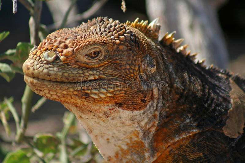 De leguaan van het land, de Eilanden van de Galapagos stock foto