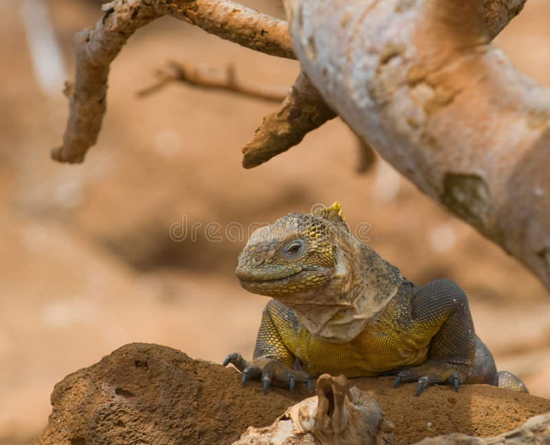 De leguaan van het land, de Galapagos eilanden, Ecuador royalty-vrije stock foto