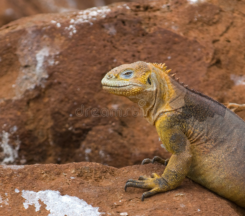 De leguaan van het land, de Galapagos eilanden, Ecuador stock fotografie