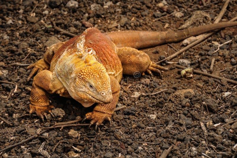 De leguaan van het land, de Galapagos eilanden, Ecuador stock foto's