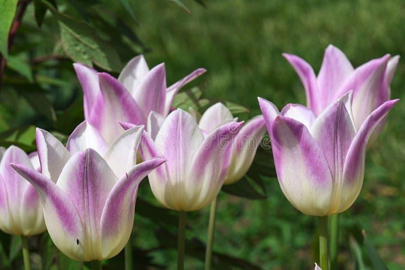 De lelie-gebloeide Elegante Dame van tulpen hybride bloemen met lavendelroze aan wit bicolored bloemblaadjes stock afbeeldingen