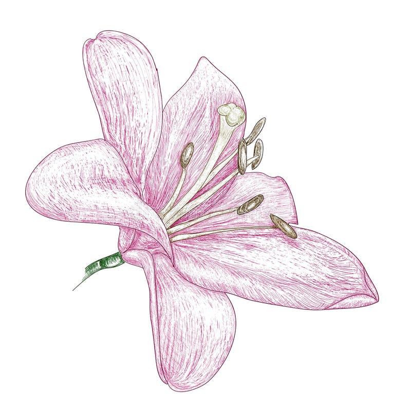 De lelie van bloemen, het schilderen schets vector illustratie