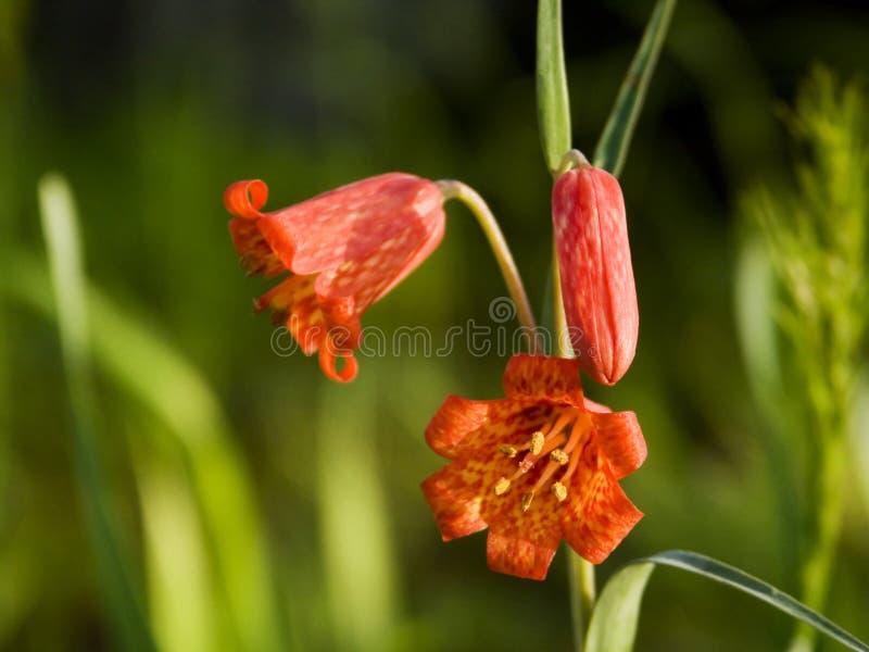 De Lelie van Bolanders - Oregon Wildflowers royalty-vrije stock afbeelding