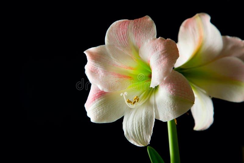 Download De lelie van de amaryllis stock foto. Afbeelding bestaande uit mooi - 10784476