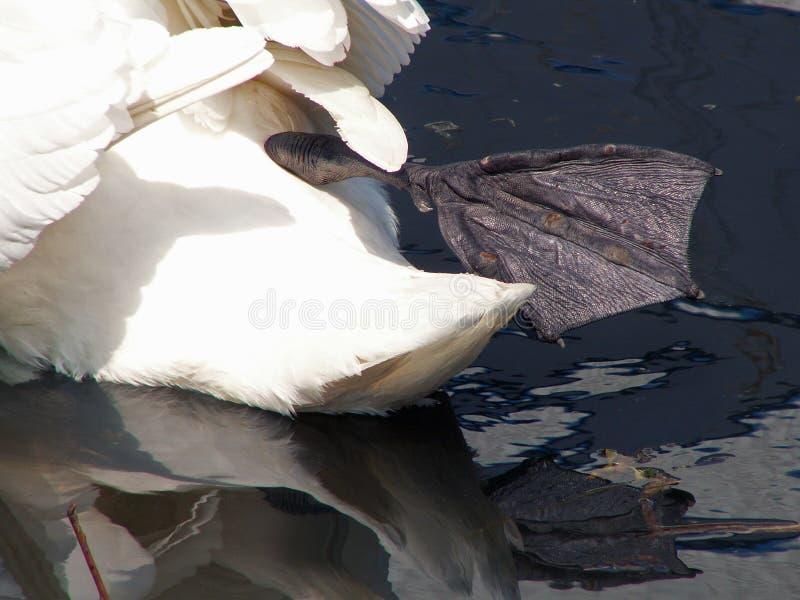 De lemma's van een zwaan royalty-vrije stock fotografie