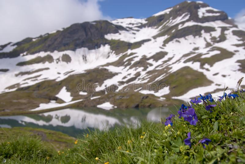 De lente alpiene bloemen met bergen op de vage achtergrond stock afbeelding
