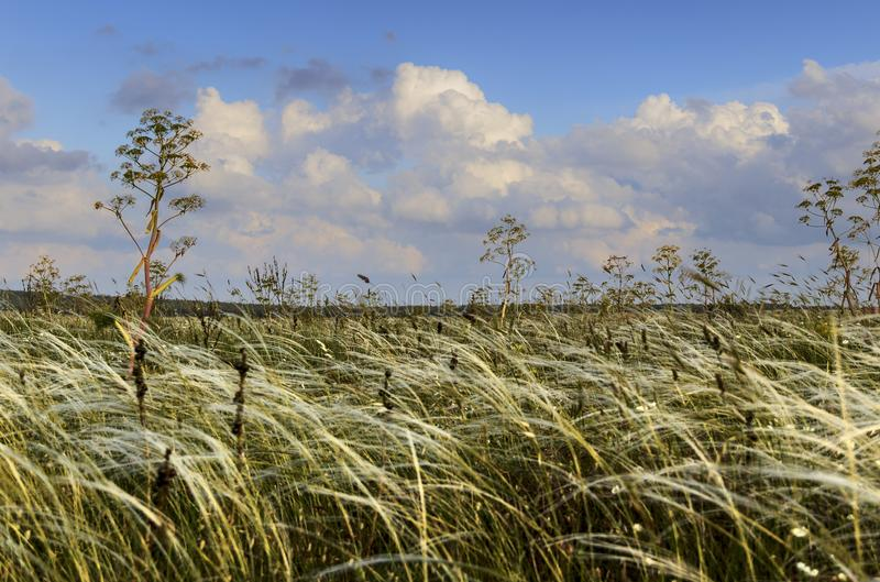 de lente Alta Murgia National Park: tipical communis ferula van de weidebreedte ITALIË, Apulia royalty-vrije stock afbeelding