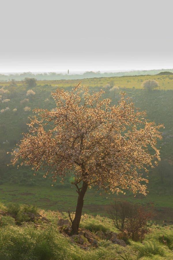 de lente Alta Murgia National Park: wilde amandelboom in bloei bij dageraad Apulia-Italië royalty-vrije stock foto