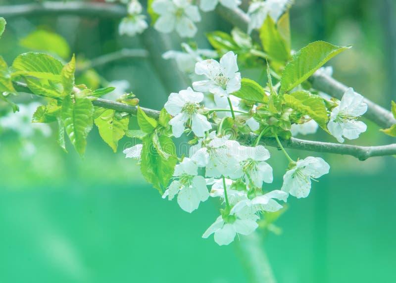De lente Apple-bomen in bloesem Bloemen van appel witte bloei van tot bloei komende boom dicht omhoog Mooie de lentebloesem van a royalty-vrije stock foto's