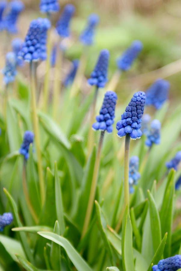 De lente Blauwe Bloemen groene Bladeren royalty-vrije stock afbeeldingen