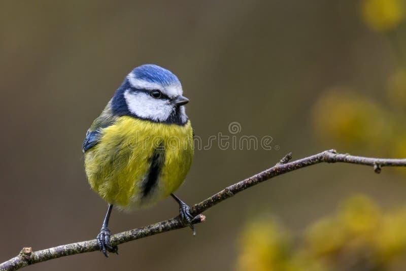 De lente blauwe mees royalty-vrije stock afbeeldingen