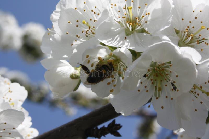 De lente bloeide boom en een bijen dicht omhooggaand detail De witte bloemen van de appelboom stock foto's