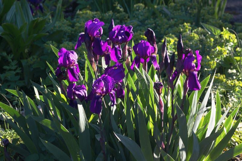 In de lente, bloeiden de mooie blauwe irissen in de tuin stock afbeeldingen
