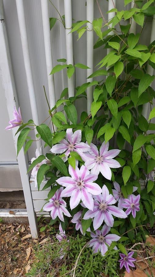 de lente bloeiende clematissen stock fotografie