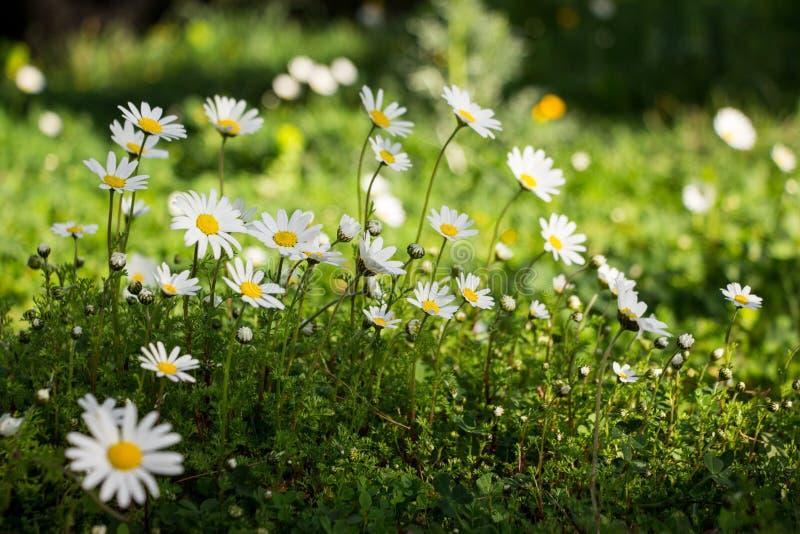 De lente bloeiende madeliefjes in het park royalty-vrije stock afbeeldingen