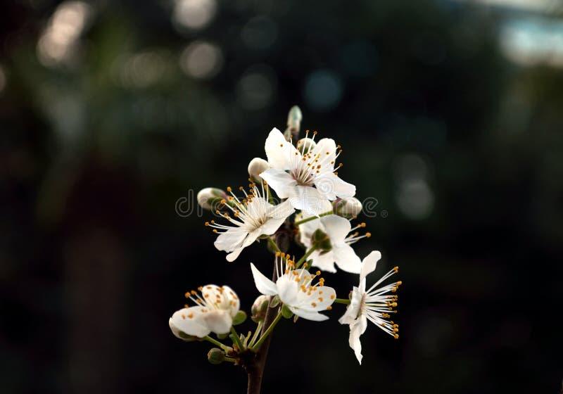 De lente bloeiende pruim stock afbeelding