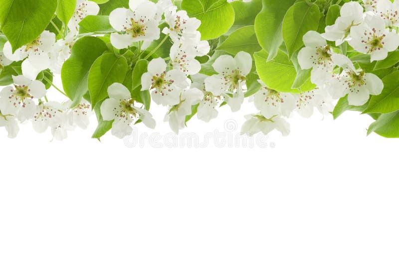 De lente bloeit Apple of peer en groene sappige die bladeren als kader op bovenkant op witte achtergrond wordt geïsoleerd stock afbeeldingen