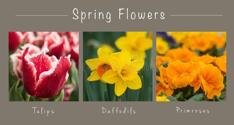 De lente bloeit - collage met tekst: Tulpen, Gele narcissen en Sleutelbloemen royalty-vrije stock afbeelding