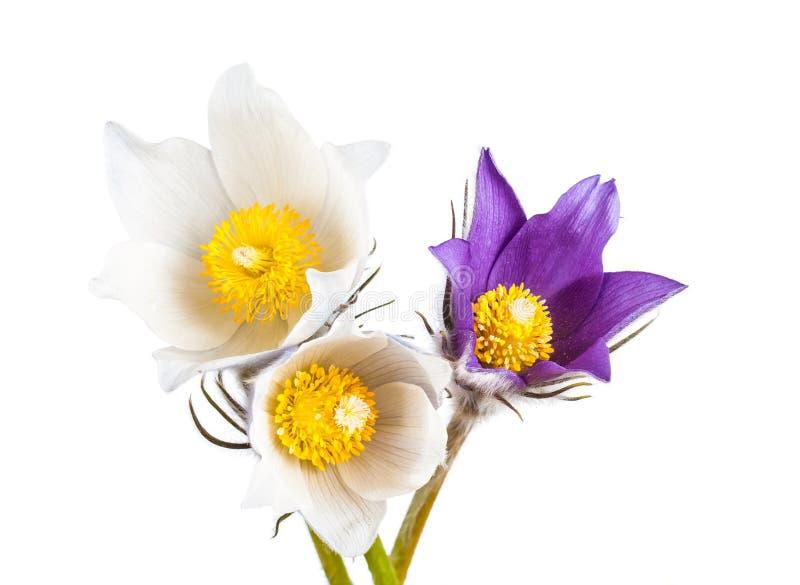 De lente bloeit cutleaf anemoon stock afbeelding