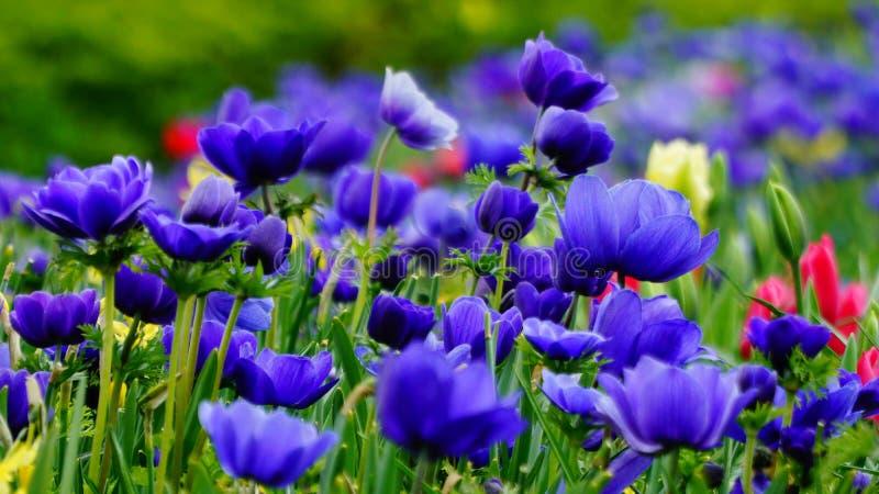 De lente bloeit: een tapijt van blauwe annemonae op een groene achtergrond royalty-vrije stock afbeelding