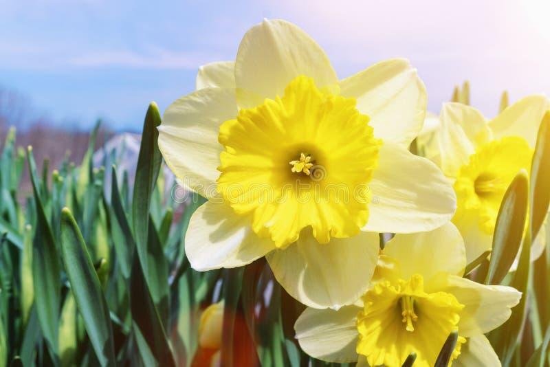 De lente bloeit gele narcissen op een heldere Zonnige dag stock foto