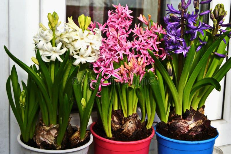De lente bloeit hyacinten in bloempotten op het witte venster, blauw, roze stock afbeelding