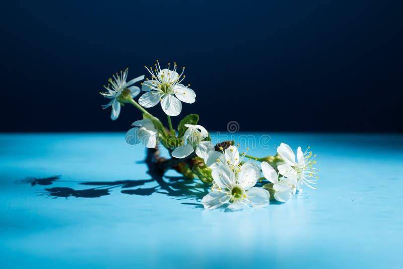 De lente bloeit kader op blauwe achtergrond De gele Bloem van de Kers van de Kornalijn royalty-vrije stock fotografie