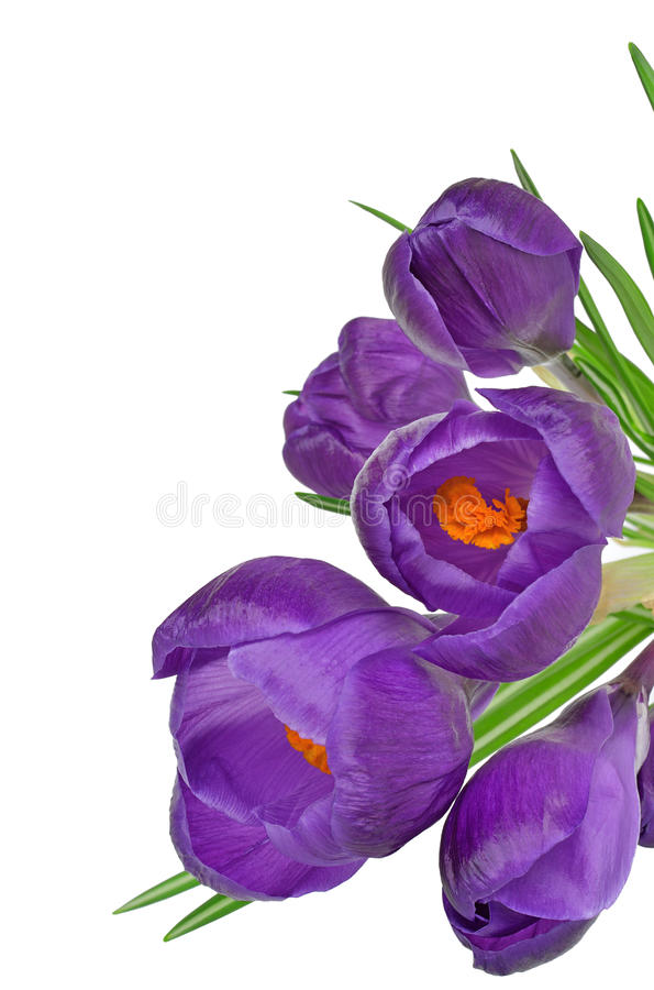 De lente bloeit Krokus royalty-vrije stock afbeelding