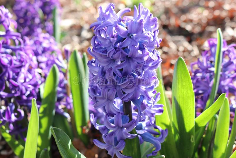 De lente bloeit lavander in New Jersey 2019 royalty-vrije stock fotografie