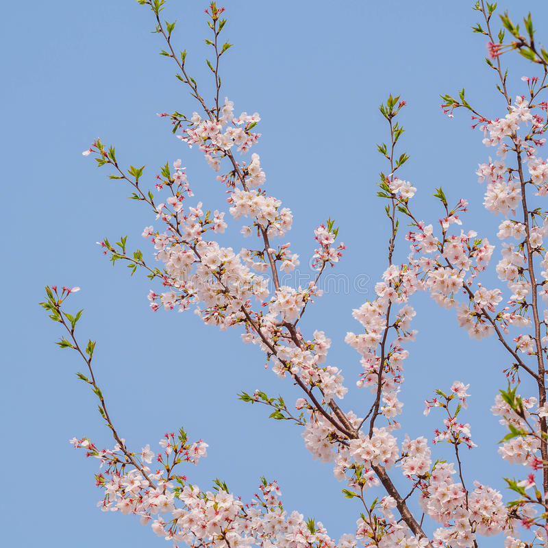 De lente bloeit reeks, Cherry Blossom op Tongji-Universiteit royalty-vrije stock afbeeldingen