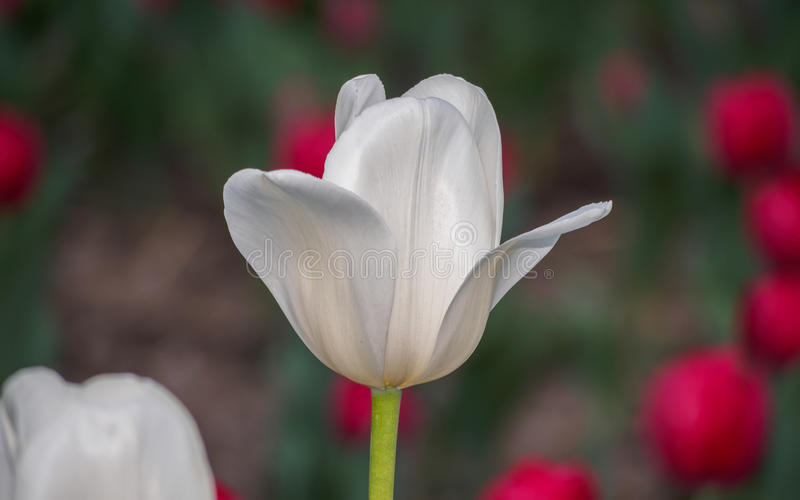 De lente bloeit reeks, enige witte tulp op gebied stock afbeeldingen