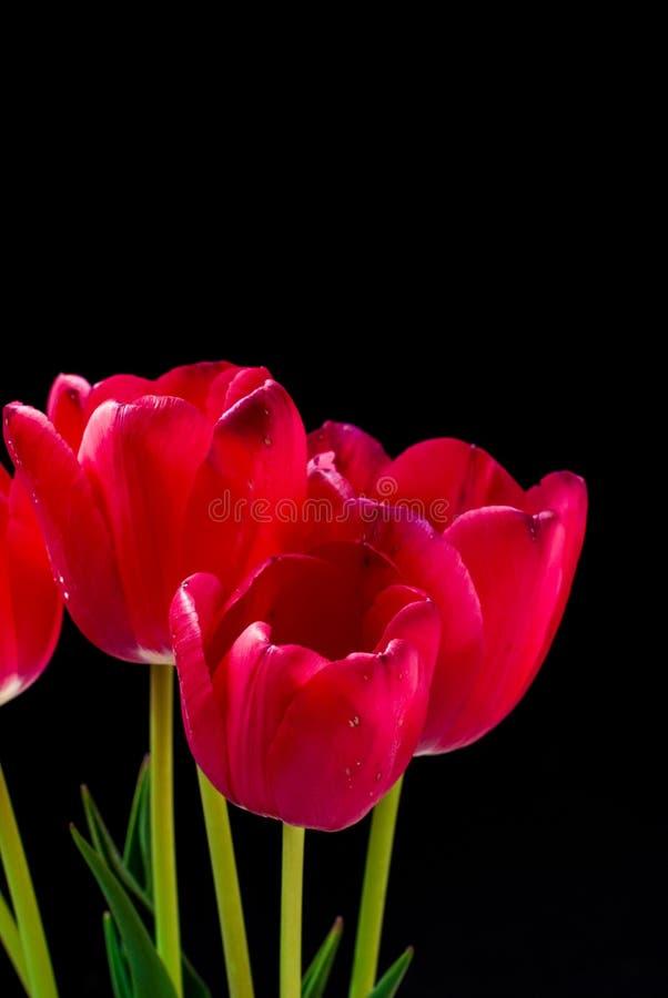 De lente bloeit rode tulpen royalty-vrije stock fotografie
